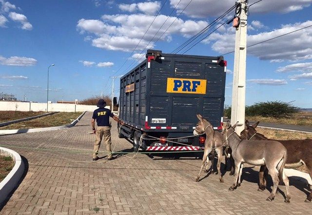 PRF recolheu mais de 300 animais no sertão no primeiro semestre